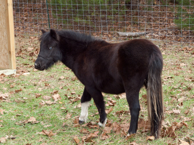 Eureka springs miniature horse at lake lucerne resort