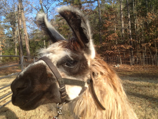Eureka springs llamas at Lake Lucerne Resort