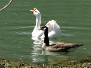 blog-geese