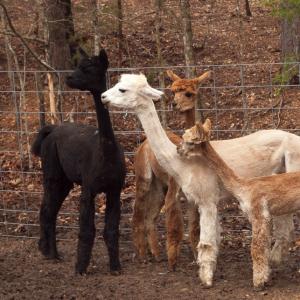Newlly Sheared Alpacas