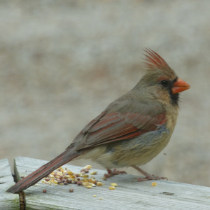 Photo of female Northern Cardinal
