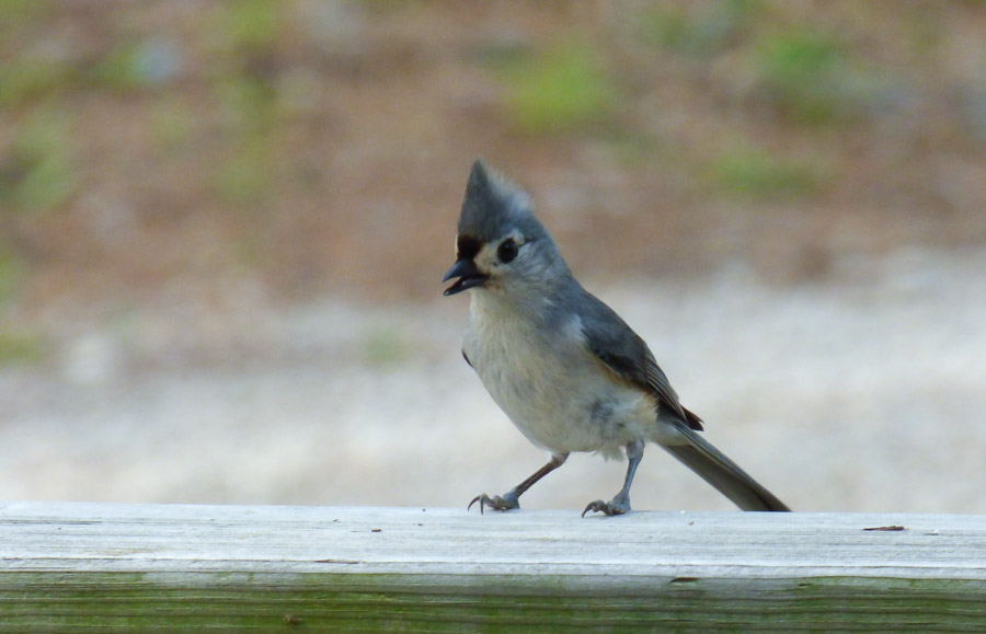 Photo of Tufted Titmouse