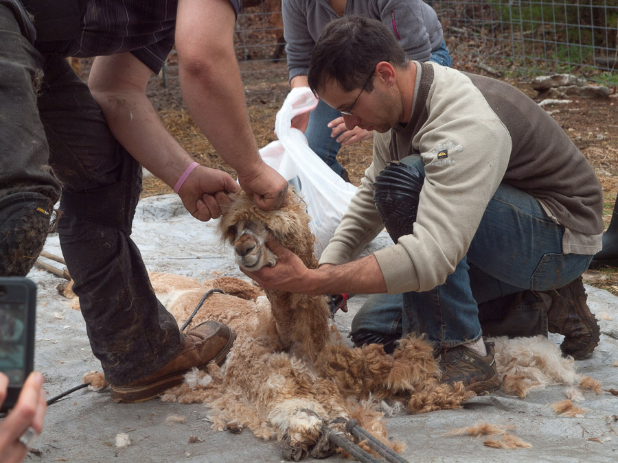 Woody Getting Sheared