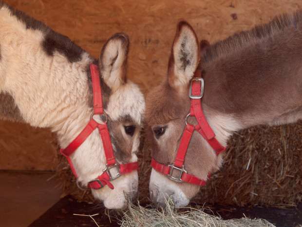 Eureka Springs Miniature Donkeys