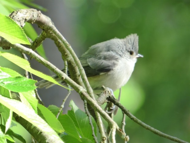 Baby Titmouse