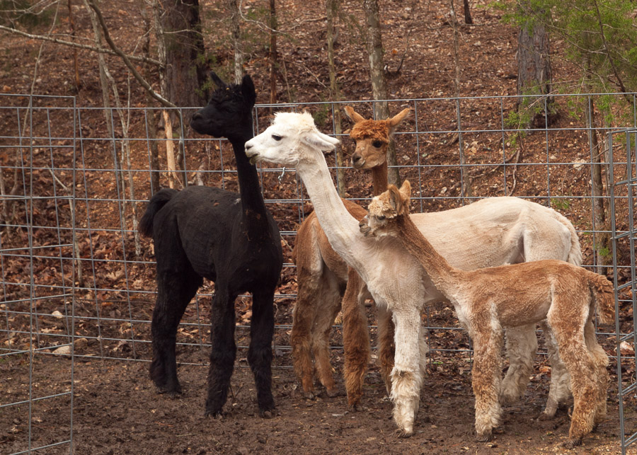 Eureka Springs Has A New Baby Alpaca Historiccottages