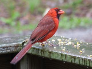 Photo of male Northern Cardinal