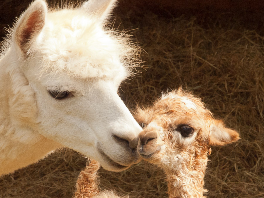 Eureka Springs Has A New Baby Alpaca Lake Lucerne Resort