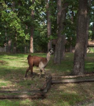 Llama at Critter Class Lake Lucerne Resort and Ranch, Eureka Springs