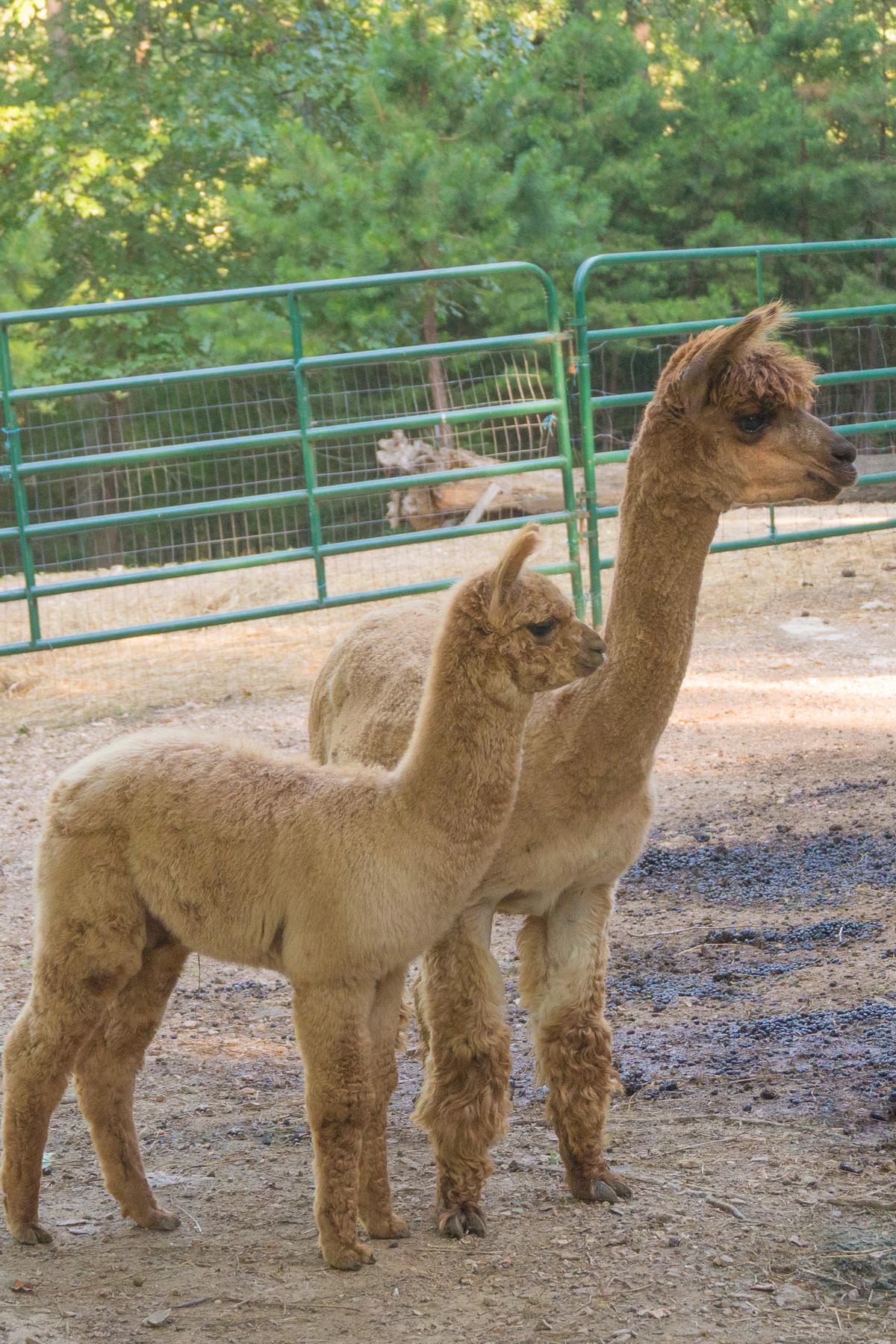 Alpacas at Lake Lucerene Resort and Ranch Eureka Springs AR